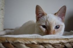 Hippolite, chat Siamois