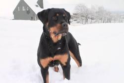 Hippolyte, chien Rottweiler