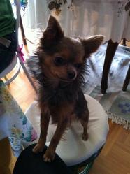 Hippy, chien Chihuahua