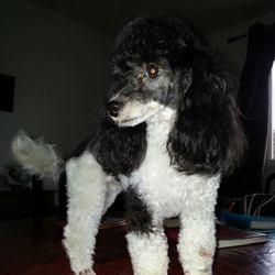 Hiris, chien Caniche