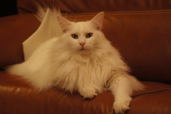 Hiris, chat Maine Coon