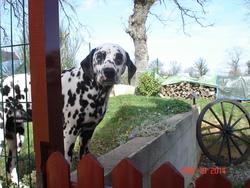 Hiris, chien Dalmatien