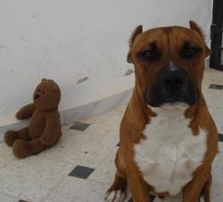 Hiro, chien American Staffordshire Terrier