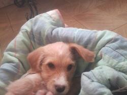 Hiro, chien Griffon belge