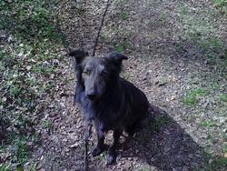 Hiro, chien Berger hollandais
