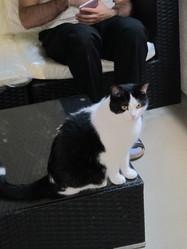 Hiro, chat Européen