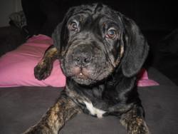 Hiro, chien Cane Corso