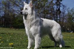 Hiro De La Divine Blanche, chien Berger blanc suisse