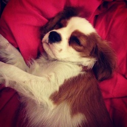 His Lordship Byron, chien Cavalier King Charles Spaniel