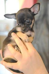 Hisae - Rose, chien Chihuahua
