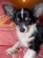 Hisis, chien Chihuahua