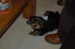 Hismo, chien Yorkshire Terrier