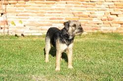 Histoire, chien Border Terrier