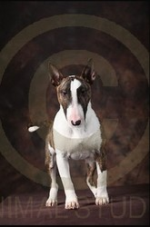 Indiana, chien Bull Terrier