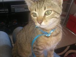 Hitchi , chat Européen