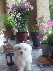 Hivana, chien Bichon maltais