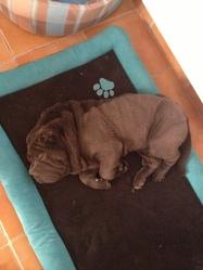 Hivy, chien Shar Pei