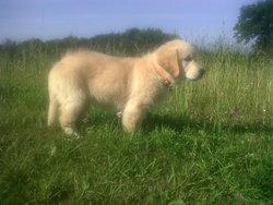 Hiwa, chien Golden Retriever