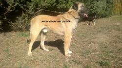 Hixel Fd4s, chien Berger d'Anatolie