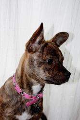 Hizie, chien Bouledogue français