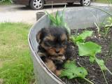 Hizie, chien Yorkshire Terrier