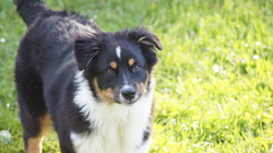 Hizy, chien Berger australien