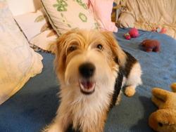 Hizy, chien Fox-Terrier