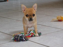 Hizzy, chien Chihuahua