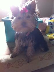 Hizzy, chien Yorkshire Terrier