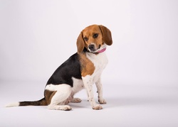 Hizzy, chien Beagle-Harrier