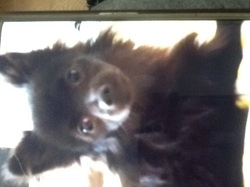 Lillie, chien Spitz allemand