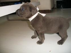 Hoanna, chien Cane Corso