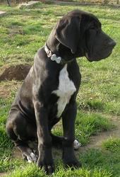 Hobama , chien Dogue allemand