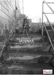 Hobbit, chien Pinscher