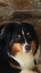 Hobby, chien Berger australien