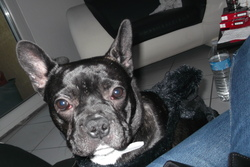 Hobby, chien Bouledogue français