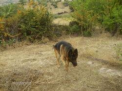 Hobby, chien Berger allemand