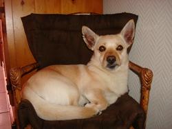 Hobby, chien Podengo portugais