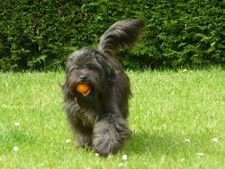 Hobiwan, chien Terrier tibétain