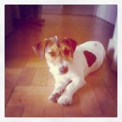 Hobo, chien Jack Russell Terrier