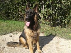 Hobo, chien Berger allemand