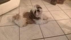 Hochi, chien Shih Tzu
