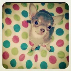 Hocks, chien Chihuahua