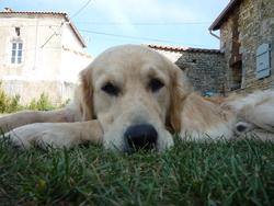 Hodgy, chien Golden Retriever