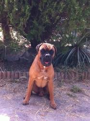 Hodin, chien Boxer