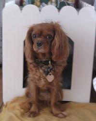 Hoëdic, chien Cavalier King Charles Spaniel