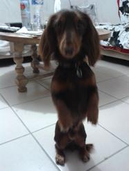 Hoggie, chien Teckel