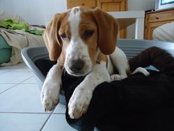 Hoggy, chien