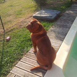 Hogoun, chien Dogue de Bordeaux
