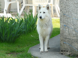 Hokapie, chien Berger blanc suisse